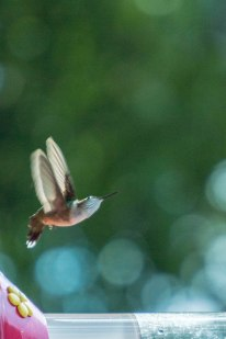 hummingbird-1-of-1