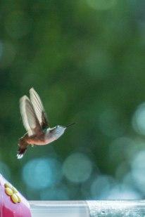 hummingbird-1-of-1